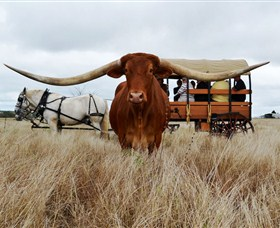 Texas Longhorn Wagon Tours and Safaris - Attractions Perth