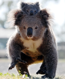 Koalas in Gunnedah - Attractions Perth