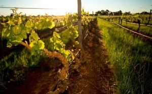 Kaesler Old Vine Vineyard Tour - Attractions Perth