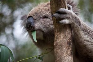 Phillip Island Koala Conservation Centre Entry ticket - Attractions Perth