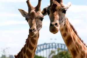 Sydney Harbour Ferry with Taronga Zoo Entry Ticket - Attractions Perth
