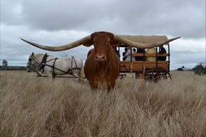 Texas Longhorn Tours - Attractions Perth